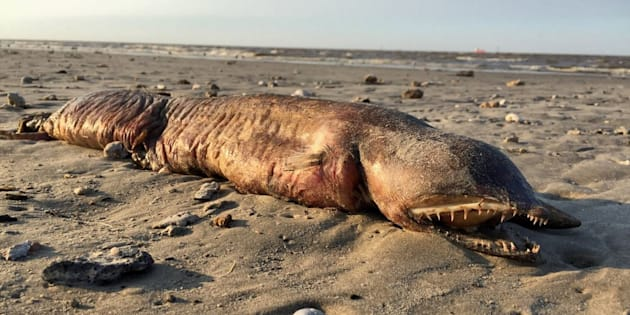Mais quelle est cette étrange créature retrouvée sur une plage du Texas après Harvey?