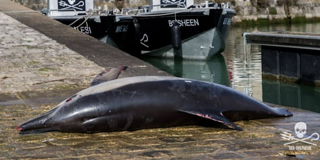 Ce cadavre de dauphin s'est retrouvé sur le port de La Rochelle pour la bonne cause