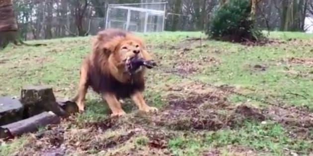 Le zoo de Dartmoor fait polémique en proposant un jeu de tir à la corde contre un lion.