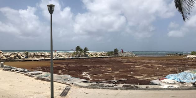 Les plages de Guadeloupe, des îles du Sud et de Martinique sont envahies par les algues depuis plusieurs mois.