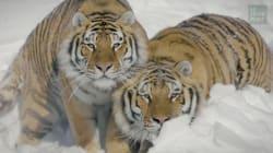 Filmé dans la neige par un drone, le tigre ne vous aura jamais paru aussi