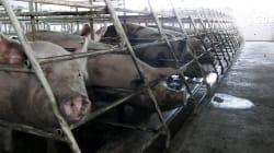 Un torturador te sirve la comida: así son las atroces granjas de cerdos en