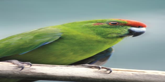 In 2013 the green parrot population was estimated to be less than 100.