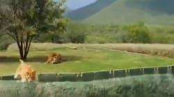 Cette vidéo d'une lionne qui saute par-dessus une fosse est