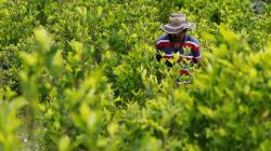 En Colombia, la coca triunfará sobre el café (o la miel) por una simple razón