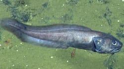 Ces poissons prospèrent mystérieusement dans un environnement