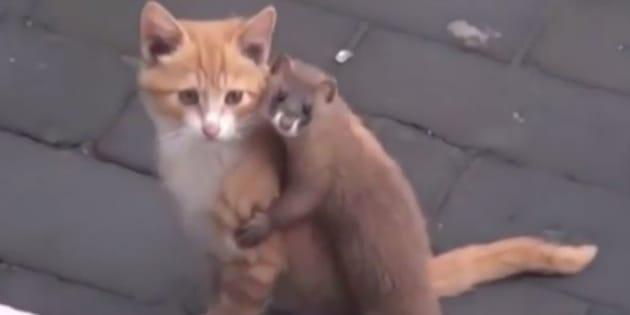 Vídeo mostra doninha tentando fazer amizade com gato.