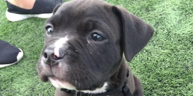 Surrey, B.C. RCMP shared a photo of Tank, a puppy they say was stolen from a woman who was trying to sell it to two men.
