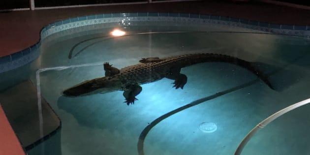 Une famille découvre un alligator de 3 mètres dans leur piscine — Floride