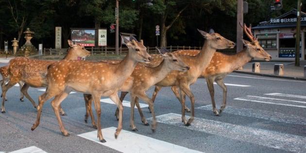 Des daims traversent la rue.