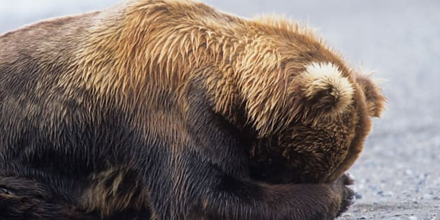 The law rollsback Alaska's ban on killing the vulnerable bears, along with wolf cubs in dens.It also allows for hunters to target the animals from helicopters.