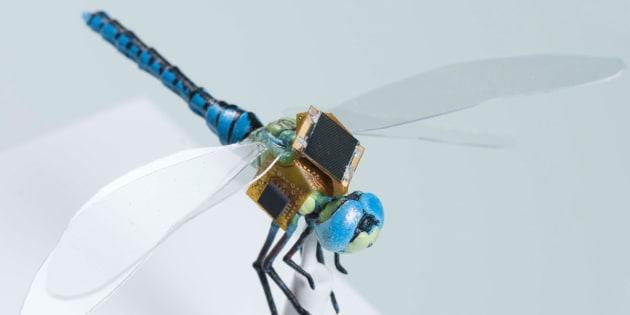 Le projet DragonflEye prévoit de faire voler des libellules modifiées cette année.