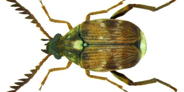 Vous n'avez pas envie de connaître la sexualité des coléoptères