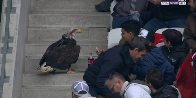 Nice-PSG: l'aigle Mefi a assisté à la défaite du club azuréen (et s'est perdu dans les tribunes)