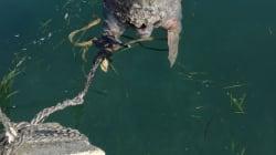 A Taranto una tartaruga marina viene uccisa e legata a un sasso: è