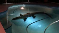 Un alligator de plus de 3 mètres dans leur