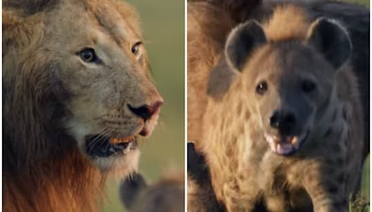 Um leão. Mais de 20 hienas. E o vídeo mais eletrizante de