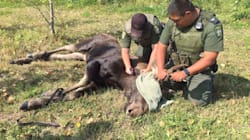 Meanwhile In Canada: Winnipeg's Loose Moose Dies After Days On The