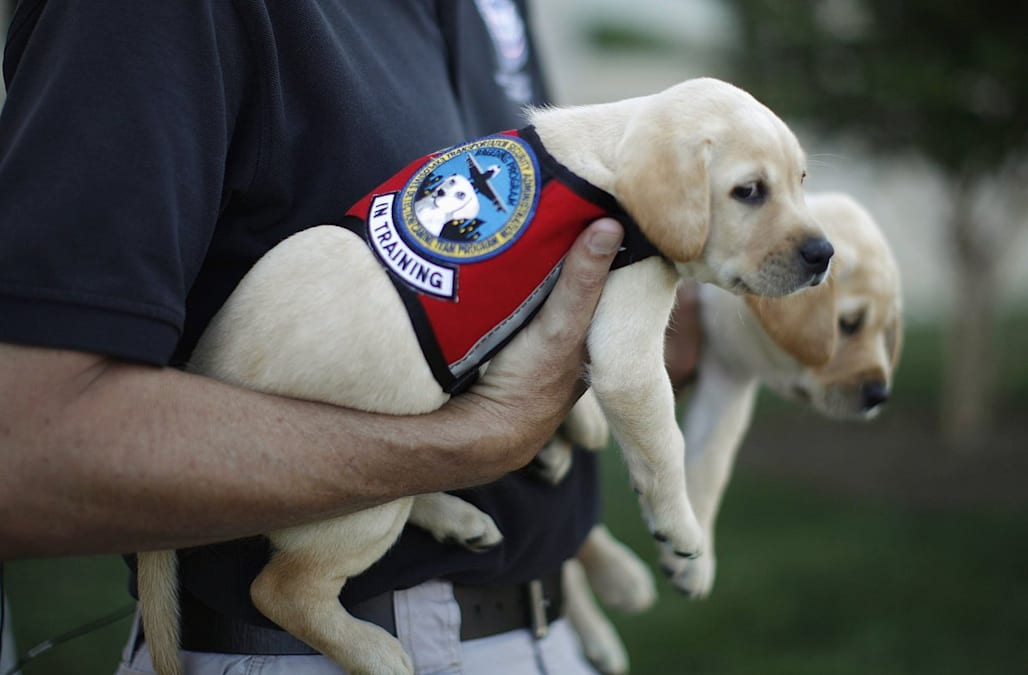Training Service Dog Puppies