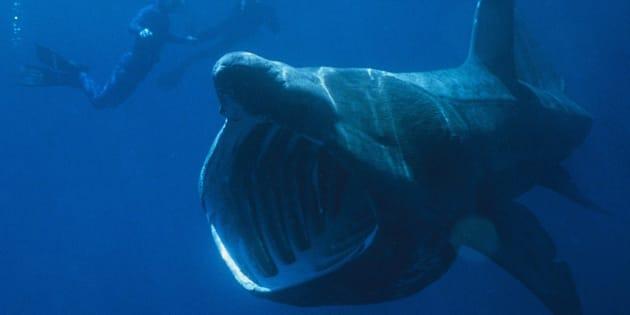 Des centaines de requins pèlerins, normalement solitaires, se regroupent et on ne sait pas du tout pourquoi