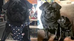 Nigella The Pug Has More Facebook Friends Than