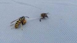 Ce combat à mort entre une guêpe et une abeille a eu une fin