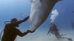 La technique de ce plongeur qui calme un requin-tigre est