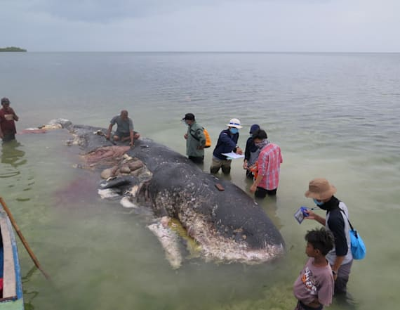 Dead whale had 1,000 pieces of plastic in stomach