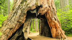 Iconic Giant Sequoia Falls, 140 Years After 'Tunnel' Carved