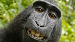 No, A Monkey Can't Copyright His Selfies, U.S. Court