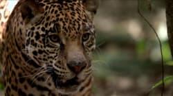 Le nombre de jaguars en hausse de 20% au