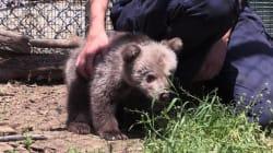 Un refuge pour ours et loups traumatisés en