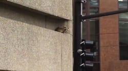 Ce raton laveur est monté au 23e étage d'une