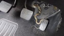 El susto de una conductora al descubrir una serpiente en los pedales del