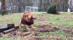 Avec son jeu de tir à la corde contre un lion, ce zoo britannique fait