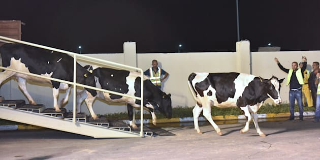 Le Qatar continue d'importer des vaches laitières par milliers et par avion.