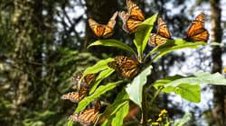 Cuando cuidar de la mariposa monarca se convierte en un propósito de