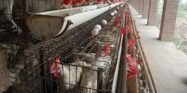 Para produção de ovos industriais, galinhas são mantidas em gaiolas.