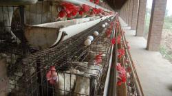 O problema não é só a carne. Conheça a triste realidade dos ovos no
