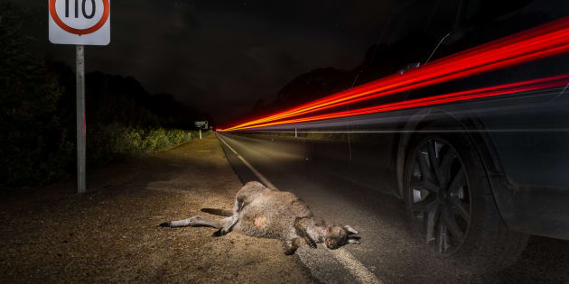 Despite the well-known fact that kangaroos are most active between dusk and dawn, there are no dusk to dawn speeding restrictions on Kangaroos Island.