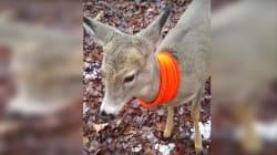 Un jeune cerf croise un chasseur en forêt et... ne le quitte