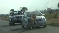 WATCH: Pride Of Curious Lions Bursts Tourist's Tyres In Kruger