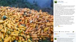 Le coup de gueule d'un couple d'agriculteurs bio forcés de laisser pourrir leurs courgettes