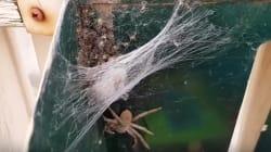 Family Creates Spider Nursery In Yet Another Aussie 'Nope'