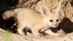 El cachorro de Fennec que acaba de nacer en Australia es todo