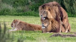 Gay Pride: Two Male Lions Shagging At A
