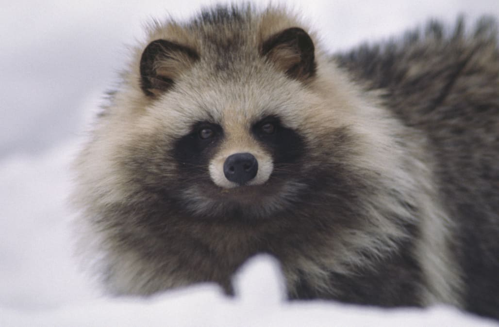 This creature looks just like a raccoon-dog hybrid - AOL News