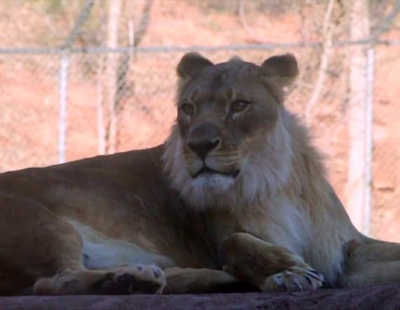 Mystery surrounding lioness' mane finally solved