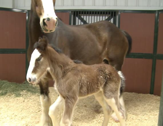 New Clydesdale colt welcomed into Budweiser family