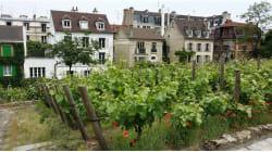"""Parigi val bene la vendemmia: rendez vous a Montmartre per l'antica """"Fete des"""
